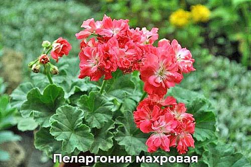 Пеларгония махровая