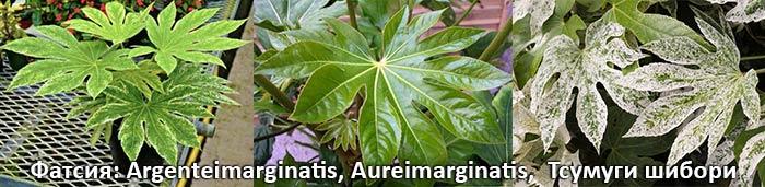 Фатсия: Argenteimarginatis, Aureimarginatis, Тсумуги шибори