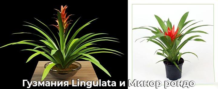 Гузмания Lingulata и Минор рондо