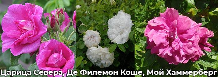 Розы: Мой Хаммерберг, Царица Севера, Де Филемон Коше