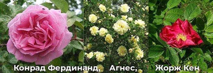 Розы: Конрад Фердинанд, Агнес, Жорж Кен