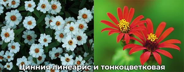 Цинния линеарис и тонкоцветковая