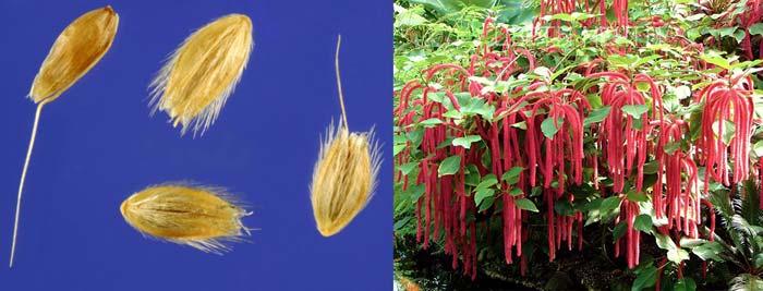 Семена для выарщивания лисохвоста