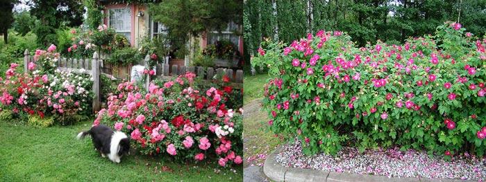 Кусты розы морщинистой