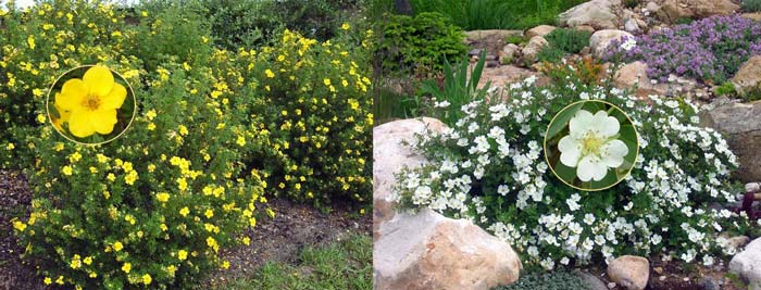 Белая и желтая лапчатка кустарниковая