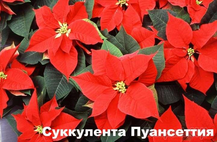 Растение вида - Суккулента Пуансеттия