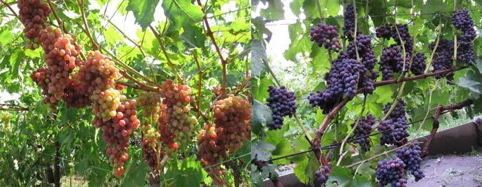 Кишмиш виноградники
