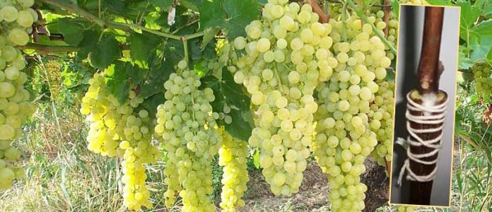 Урожай винограда на лозах и прививка