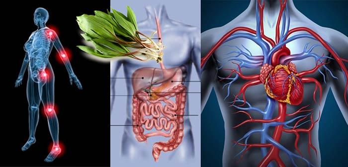 Чеермша для лечения болезней сердца и ЖКТ