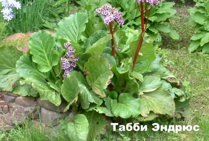 Вид растения - Табби Эндрюс бадан