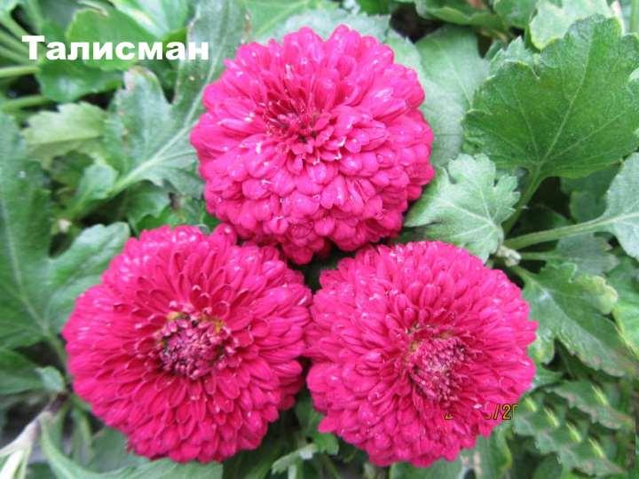 Вид хризантемы - Талисман