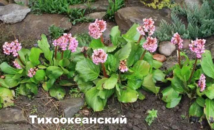 Вид растения - Тихоокеанский бадан