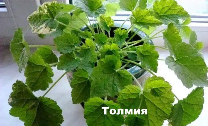 Вид лианы - Толмия