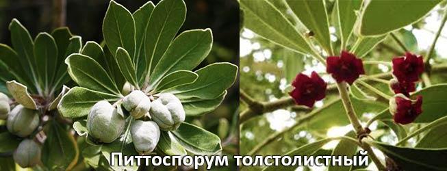 Питтоспорум толстолистный