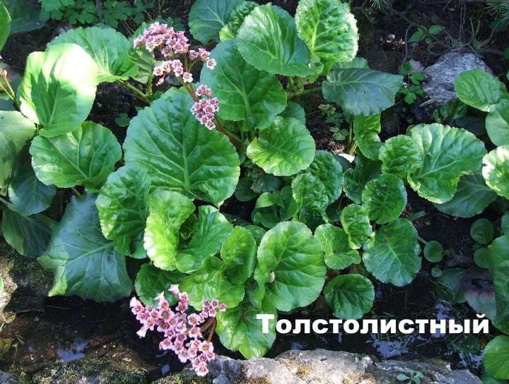 Вид растения - Толстолистный бадан