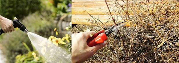 Полив и оберзка лапчатки кустарниковой