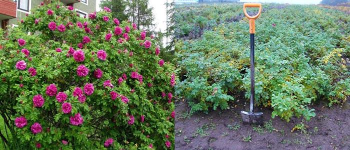 Посадка и выращивание розы морщинистой