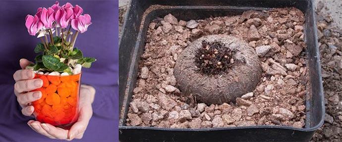 Цикламен и виды почвы