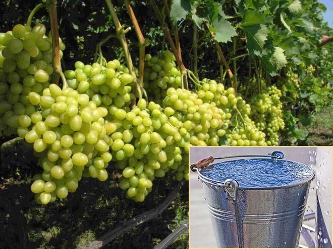 Полив винограда кишмиш