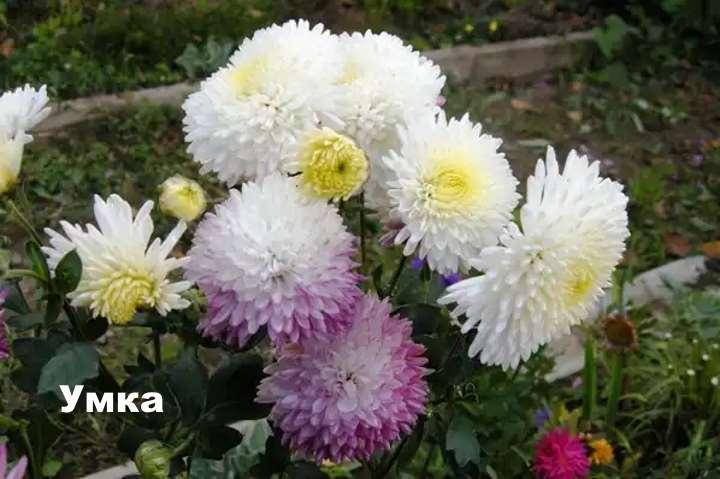 Вид хризантемы - Умка
