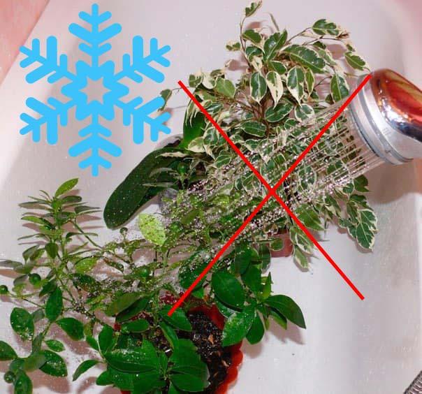 Снежинка и отмена опрыскивания фикуса