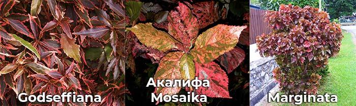 Акаалифа: Marginata, Mosaika, Godseffiana