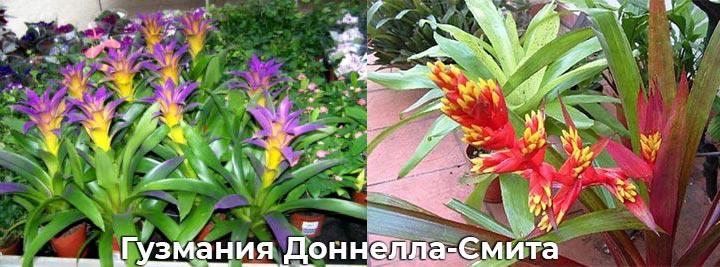 Гузмания Доннелла-Смита