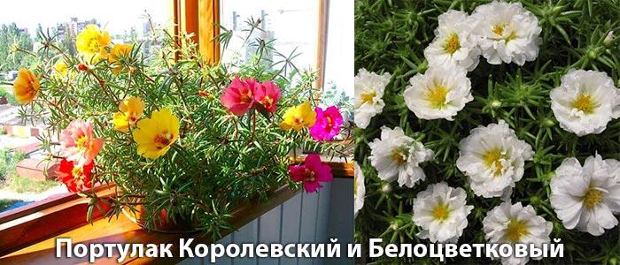 Портулак королевский и белоцветковый