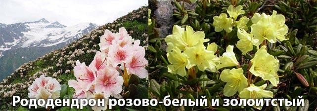 Рододендрон розово-белый и золотистый