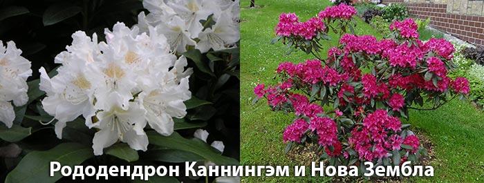 Рододендрон Каннингэм и Нова Зембла