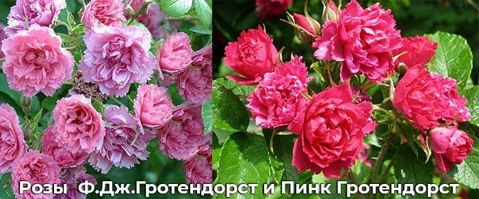 Розы Ф.Дж.Гротендорст и Пинк Гротендорст
