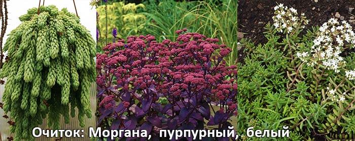 Очиток Моргана, пурпурны и белый