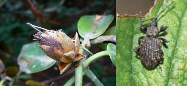 мучнистые червецы и вредители на рододендроне