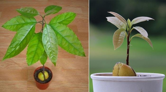 Авокадо растет из косточки