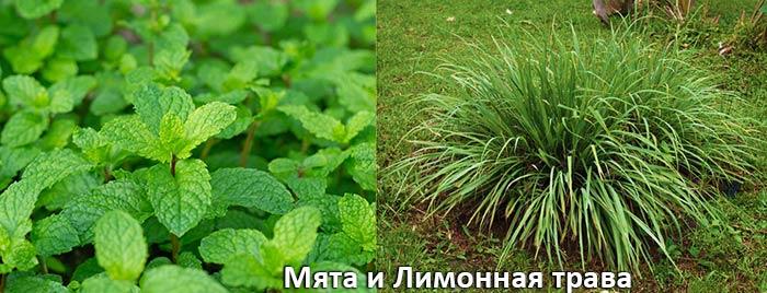 Мята и Лимонная трава