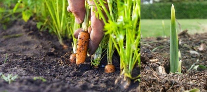 Морковка и росток цветка в грунте