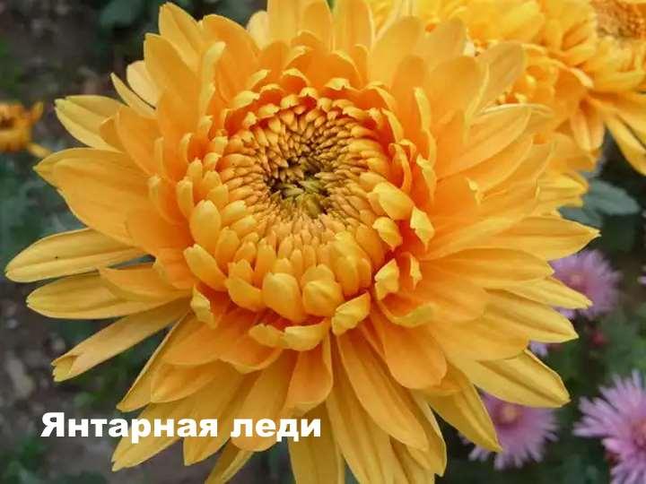 Вид хризантемы - Янтарная леди