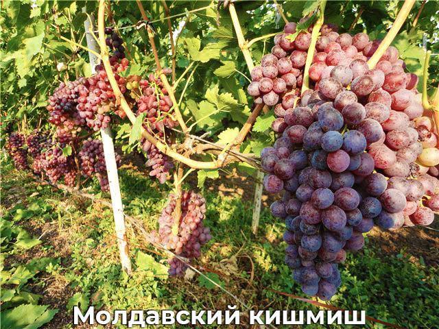Молдавский кишмиш