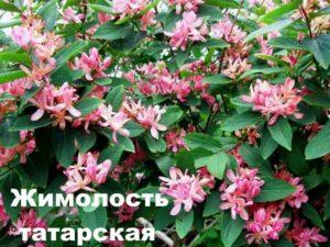 Жимолость татарская. Строение
