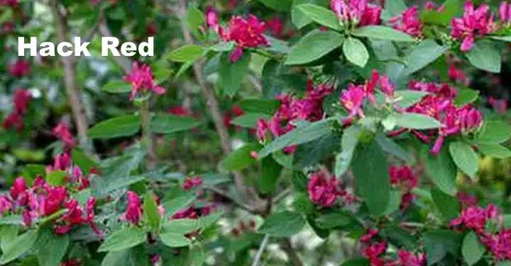 Вид растения - Жимолость татарская Hack Red