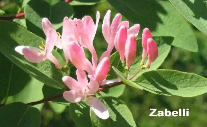 Вид растения - Жимолость татарская Zabelli