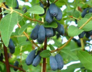 Ухоженное растение жимолости