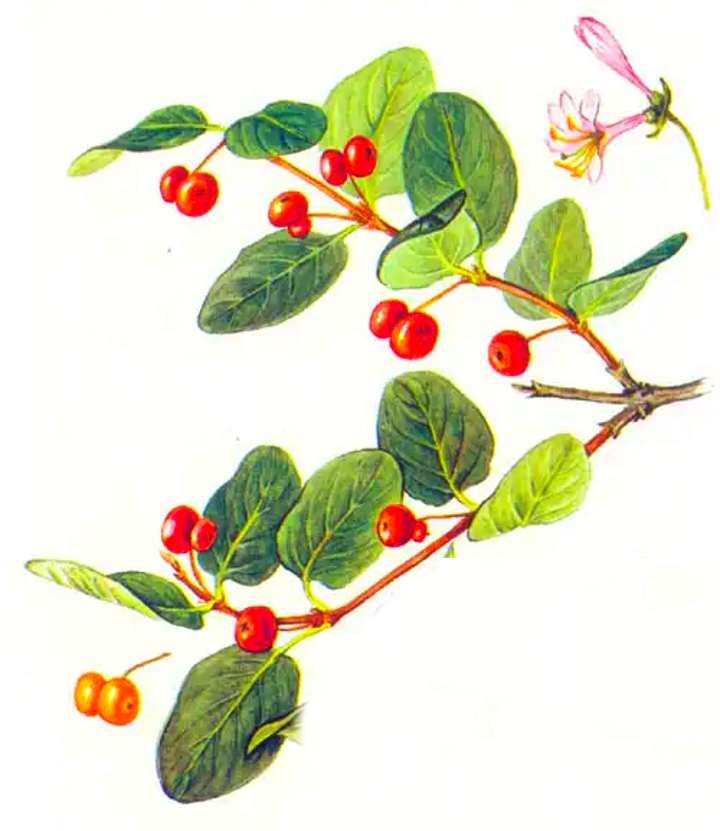 Внешний вид растения жимолость