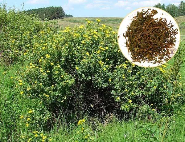 Курильский чай из лапчатки кустарниковой