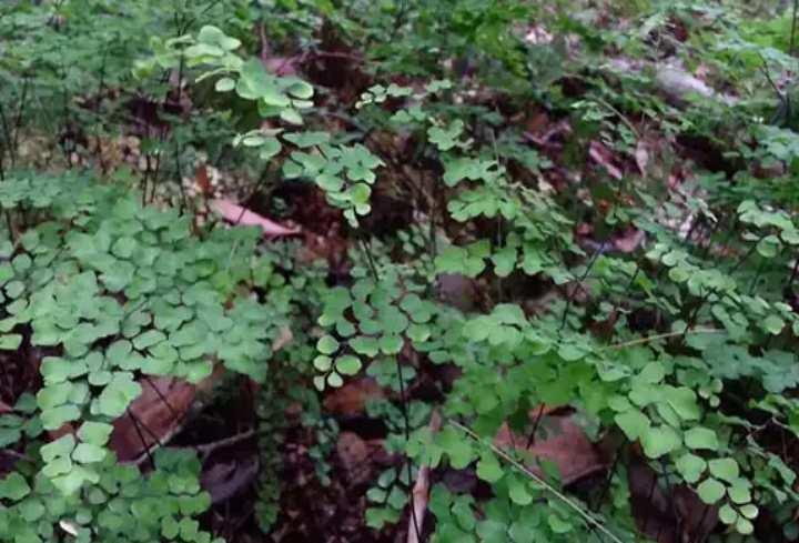 В лесу венерин волос
