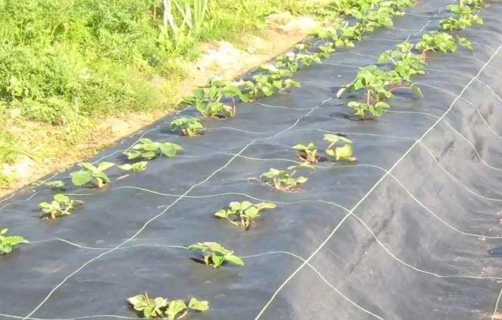 Плантация клубники под агроволокном