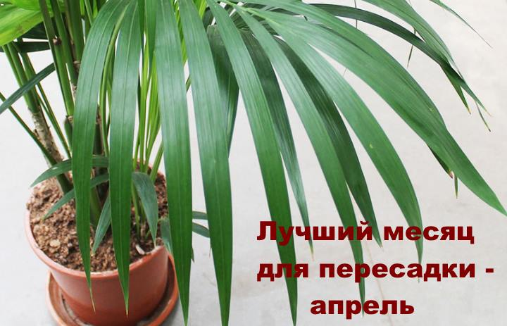 Когда пересаживать пальму