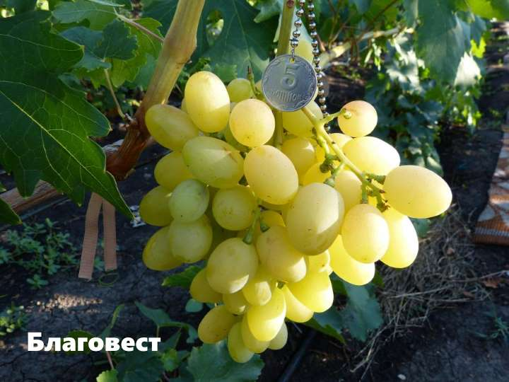 Виноград сорта благовест