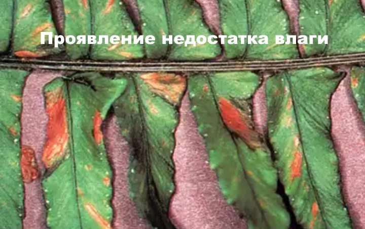Сухие листья венериного волоса