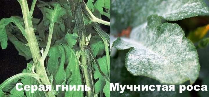 Гниль и мучнистка хризантемы